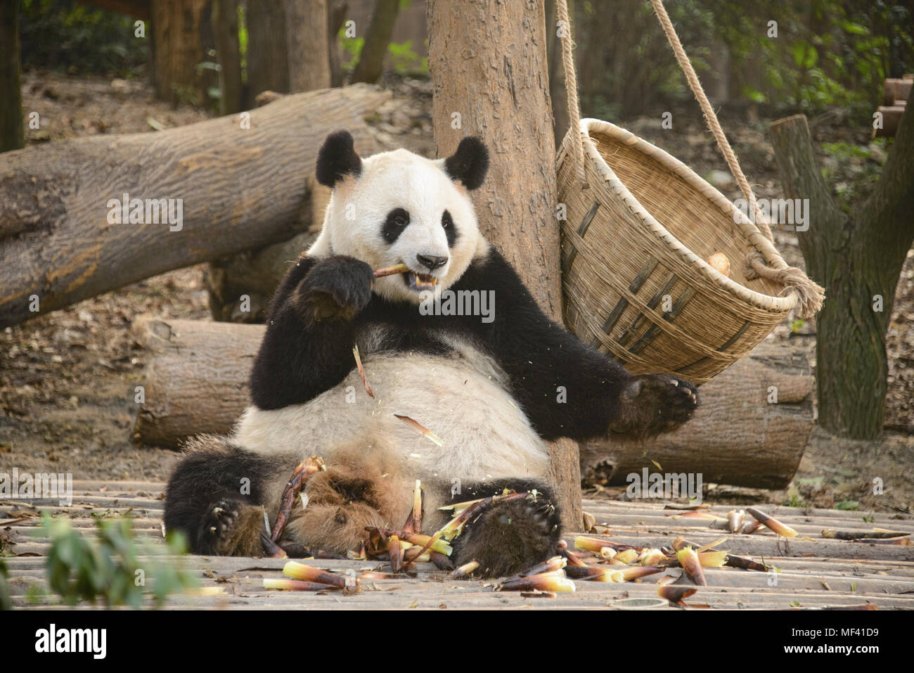 Giant panda at the Chengdu Research Base of Giant Panda Breeding in Chengdu, Sichuan, China - Stock Image