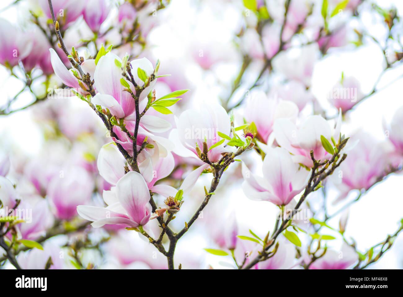 magnolia, tree, spring, blossom, flower, garden, pink