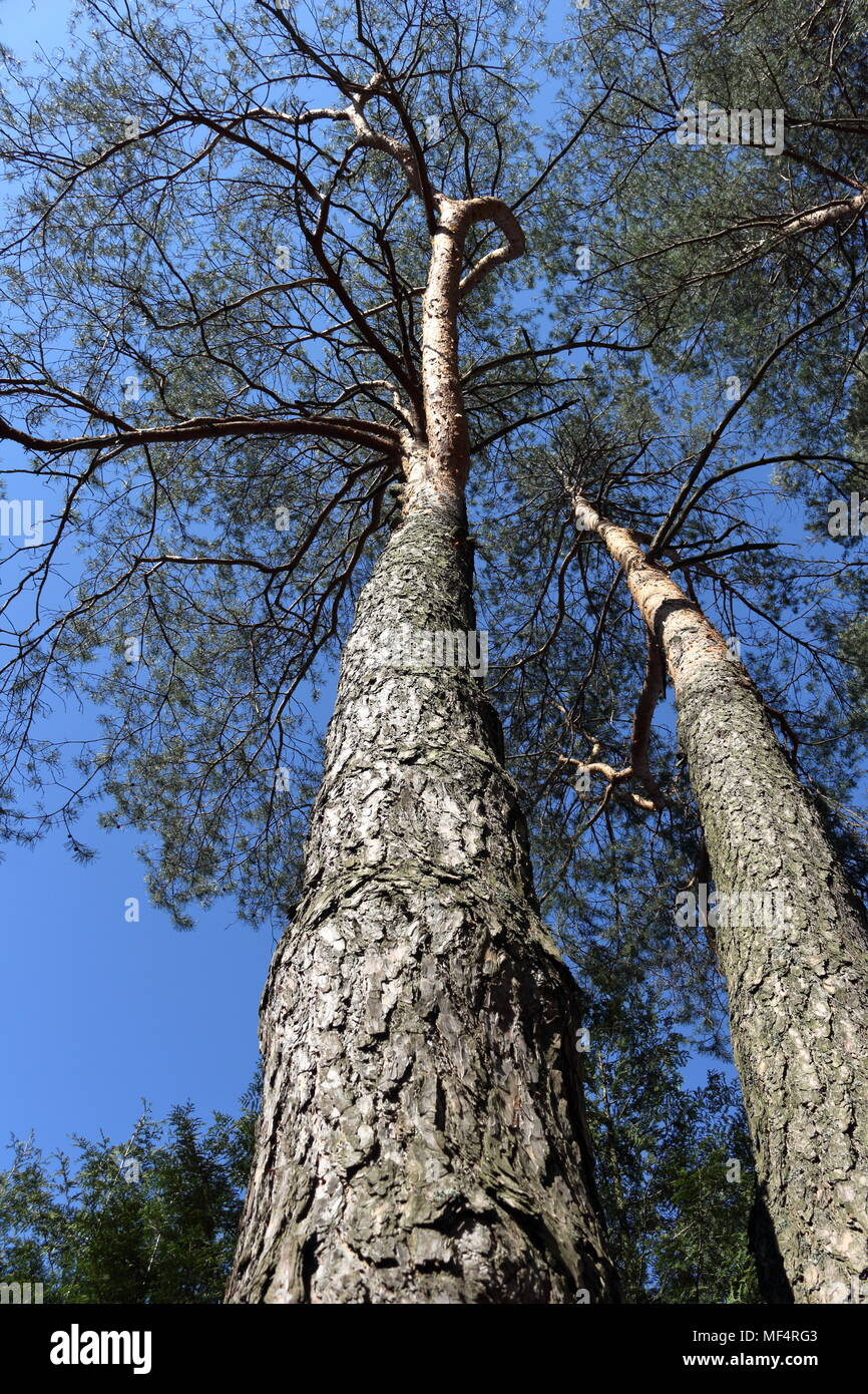 Two tall pine trees with dramatic crown shapes and clear blue sky background Stock Photo