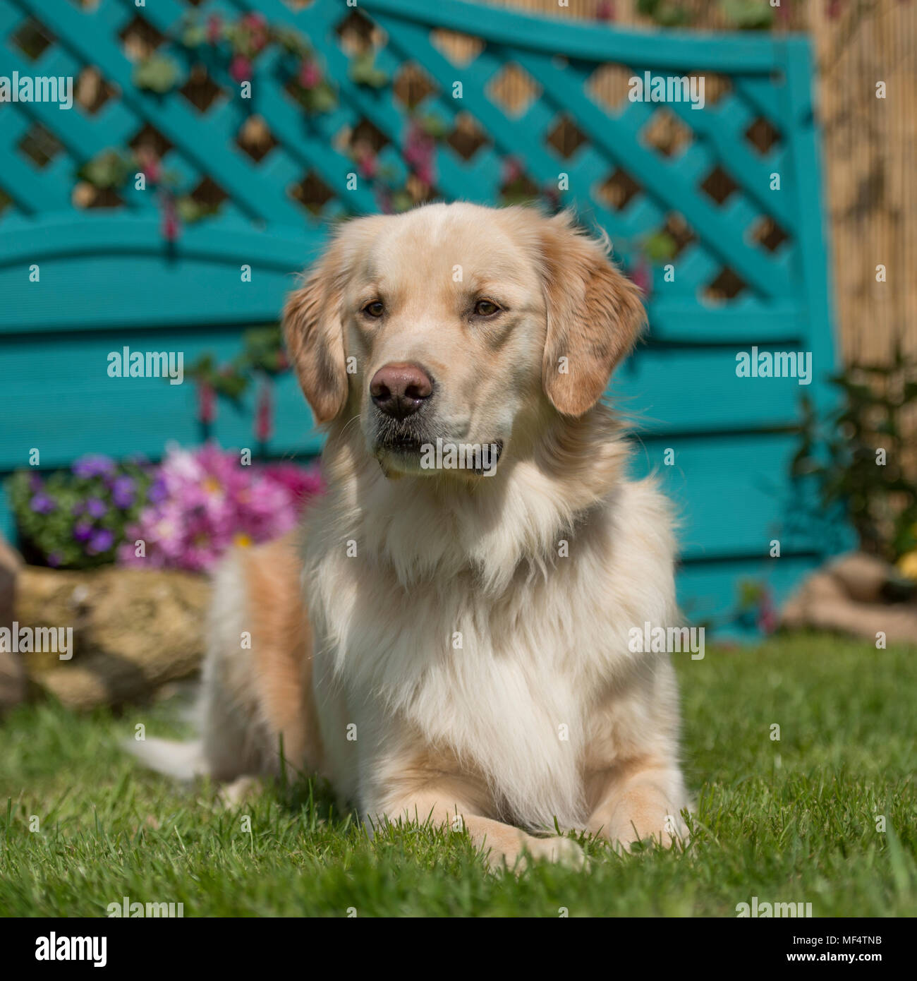 golden retriever - Stock Image
