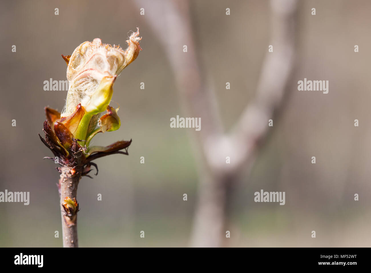 New life spring time concept. Horse chestnut bud bursting into leaves. Castania tree branch macro view. Shallow depth of field, soft focus background, copy space Stock Photo