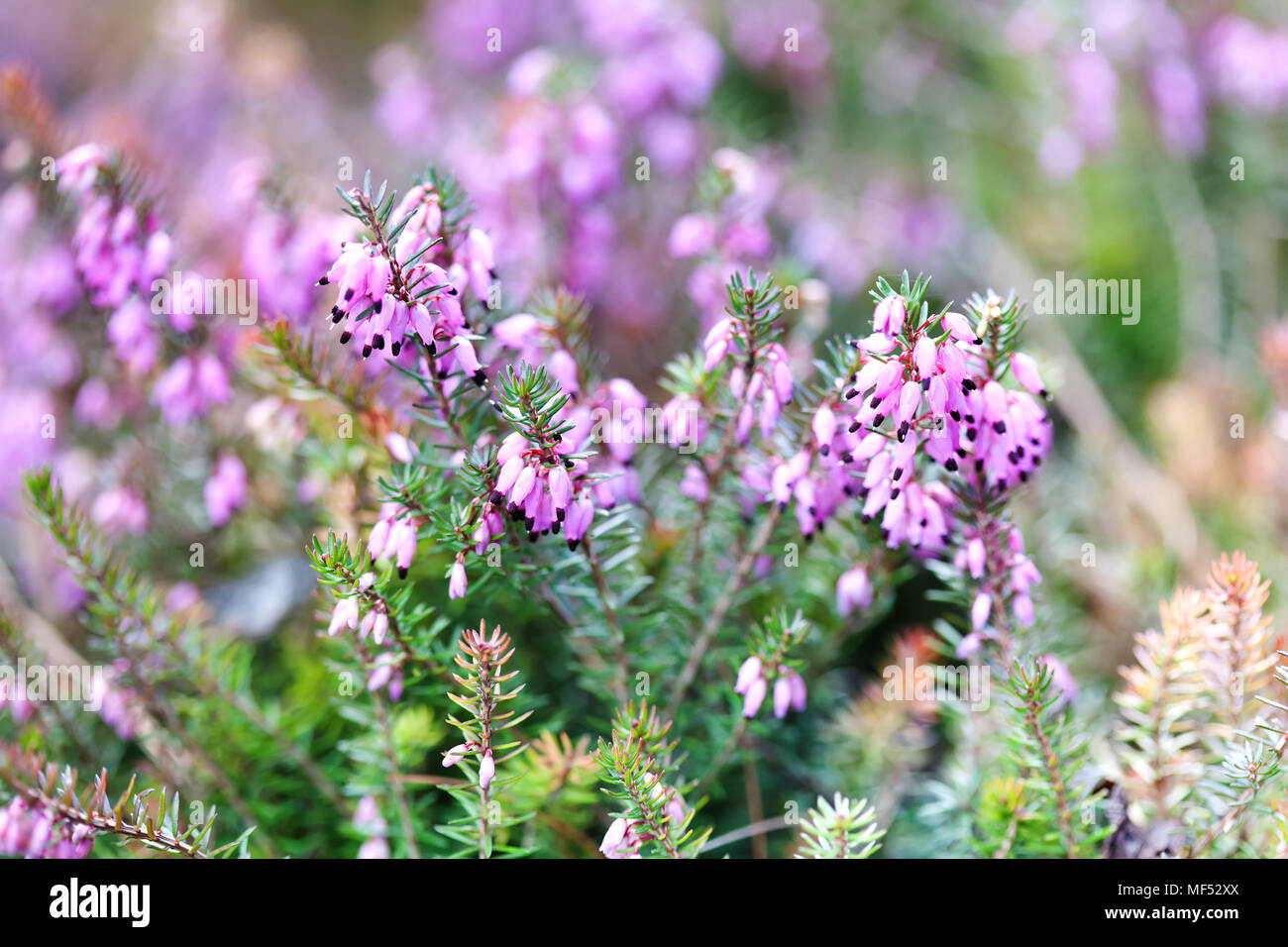 Flowering Erica tetralix small pink lilac plants, shallow depth of field, selective focus photography - Stock Image