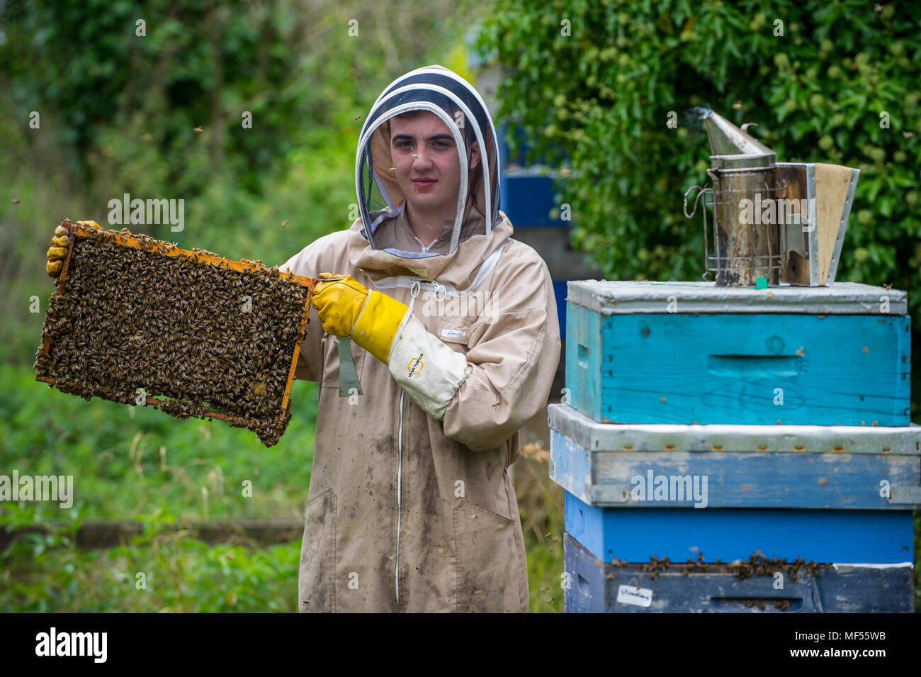 Apprentice beekeeper Gruff Tomas examines a beehive Wiltshire. - Stock Image