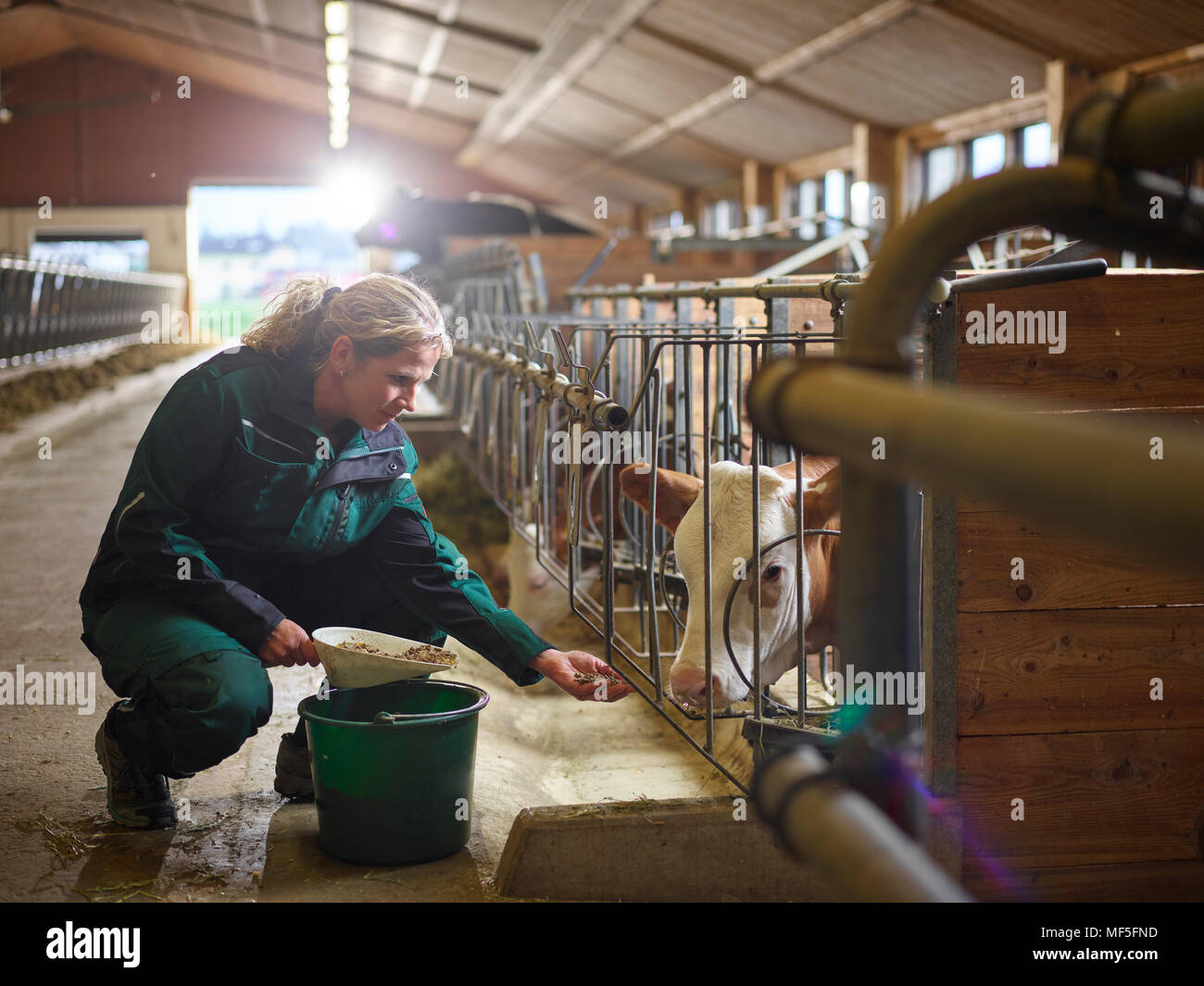Female farmer feeding calf in stable on a farm - Stock Image
