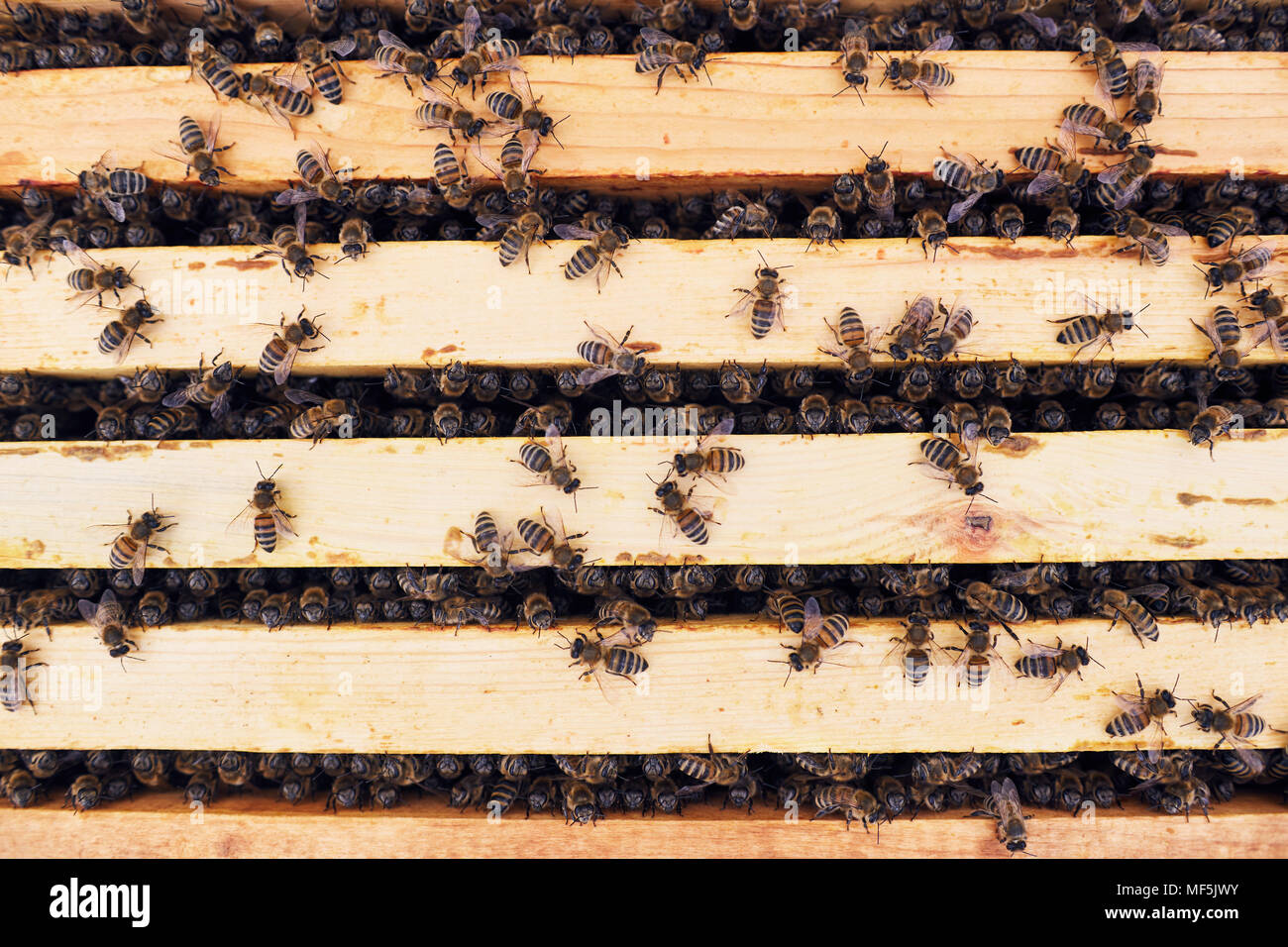 Honey Bees in Apiary - Stock Image