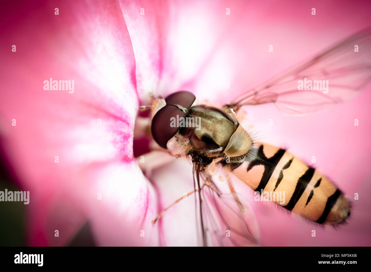 Hoverfly, Syrphidae on blossom - Stock Image