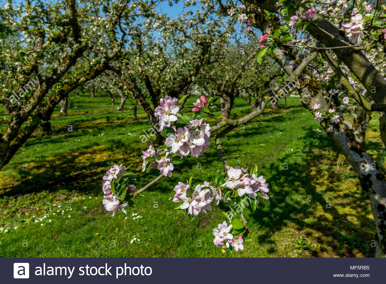 Close-up of the blossom of an English apple variety 'Brownlees Russet'  in an apple orchard in Spring. - Stock Image