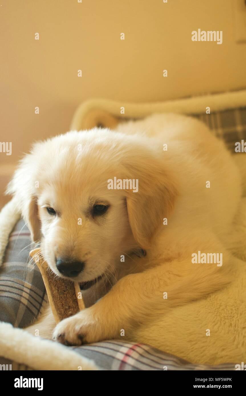 English Cream Golden Retriever Puppy Stock Photo Alamy