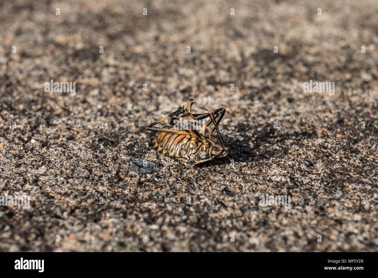 Brown marmorated stink bug (Halyomorpha halys) on its back Stock Photo