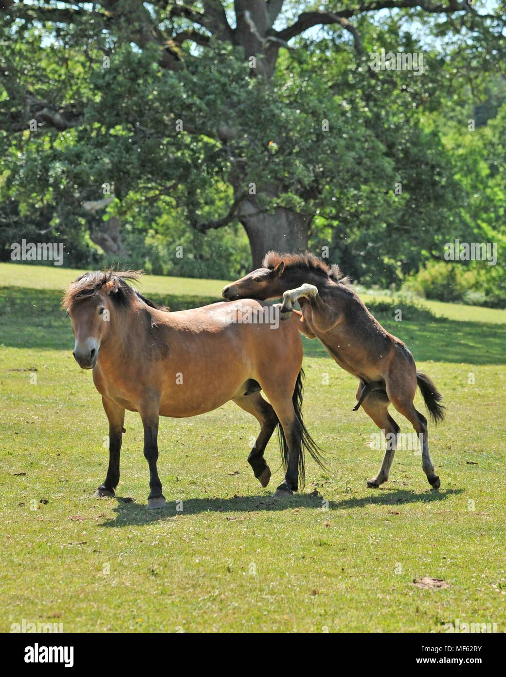 exmoor colt and mother Stock Photo