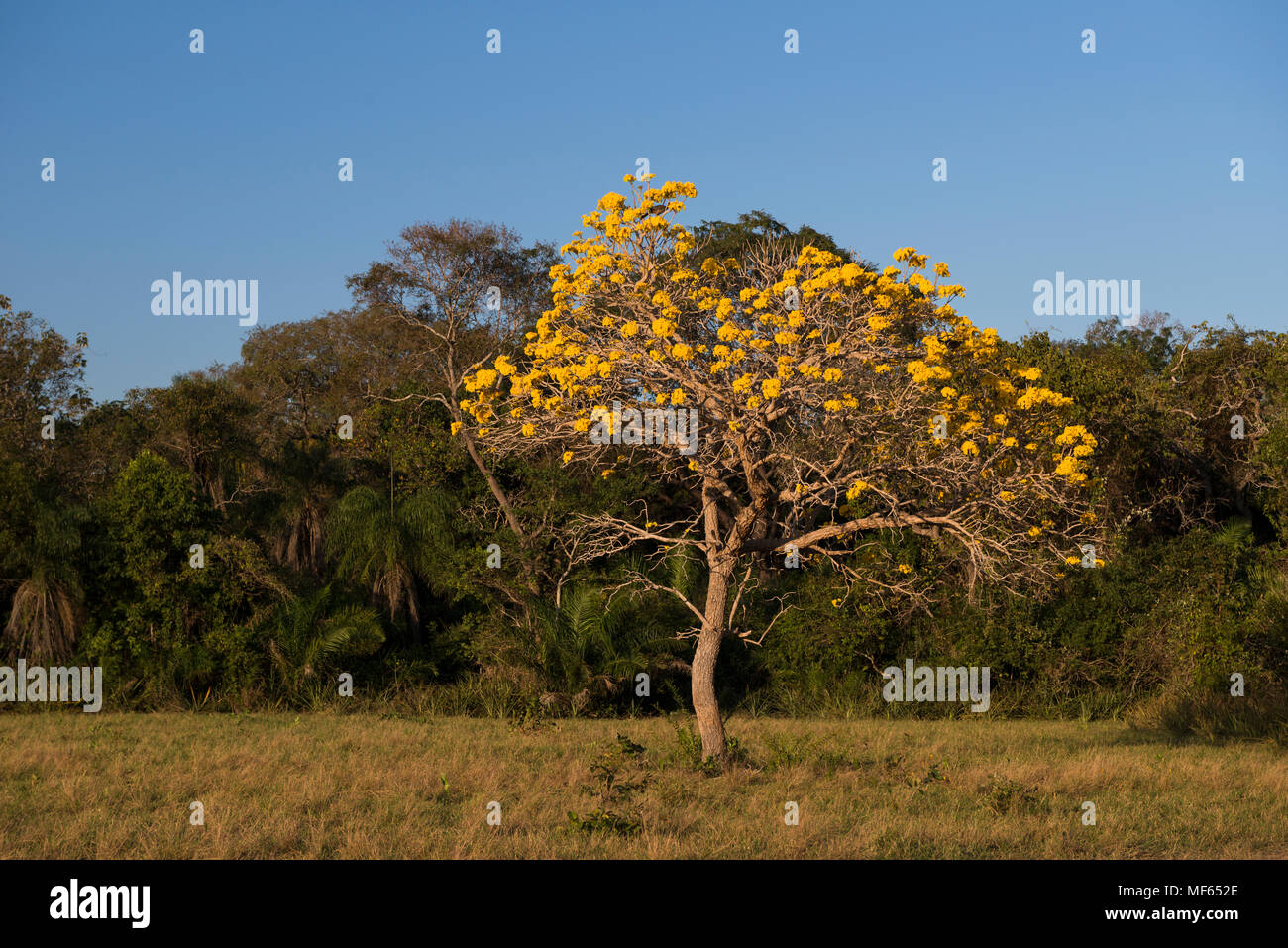 A blooming Yellow Tabebuia Tree from South Pantanal - Stock Image
