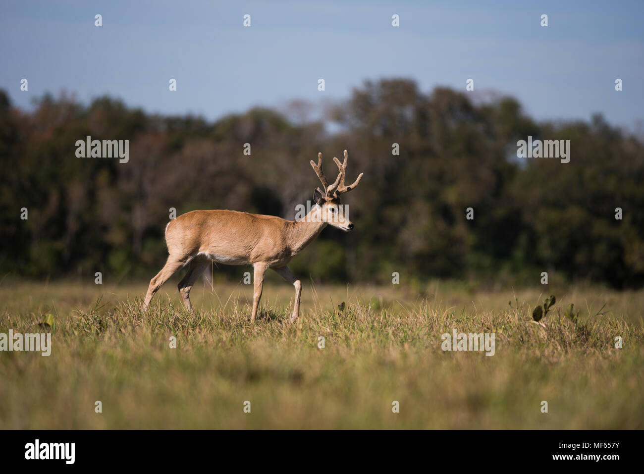 A male Pampas Deer (Ozotoceros bezoarticus) from South Pantanal - Stock Image