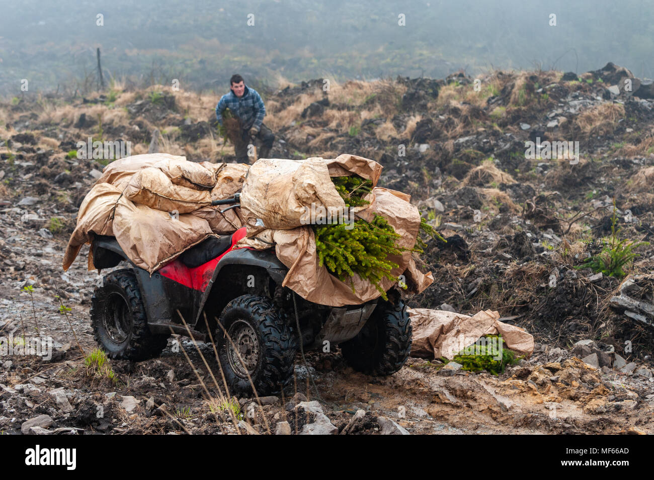 Coilte sub-contractor plants trees in a forest in Ballydehob, Ireland with a quad bike loaded with saplings in the foreground. - Stock Image
