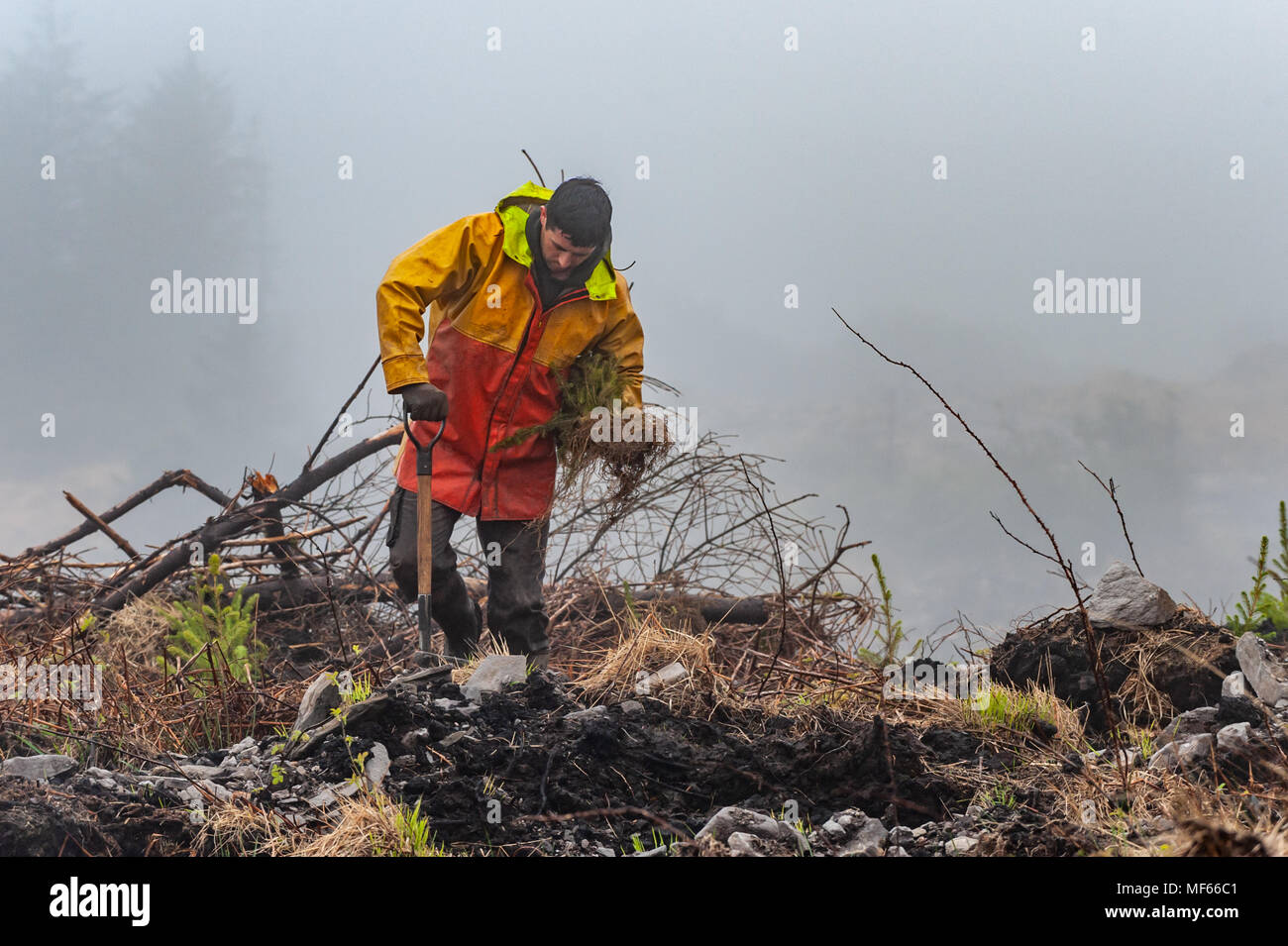 Coilte sub-contractor plants trees in a forest in Ballydehob, Ireland. - Stock Image
