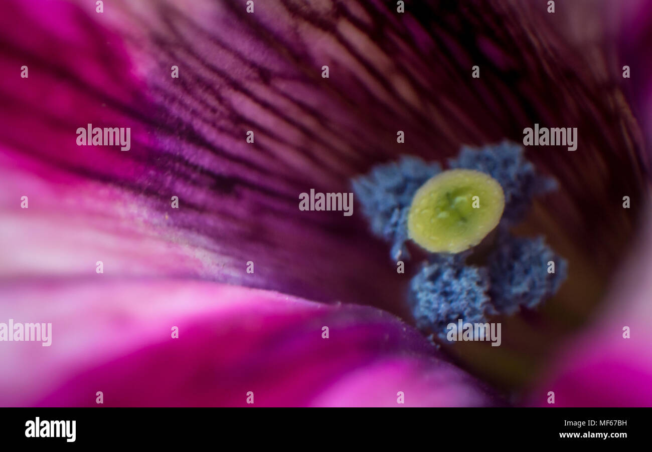 Extreme closeup and shallow depth of field of a petunia flower with visible pollen and stigma - Stock Image