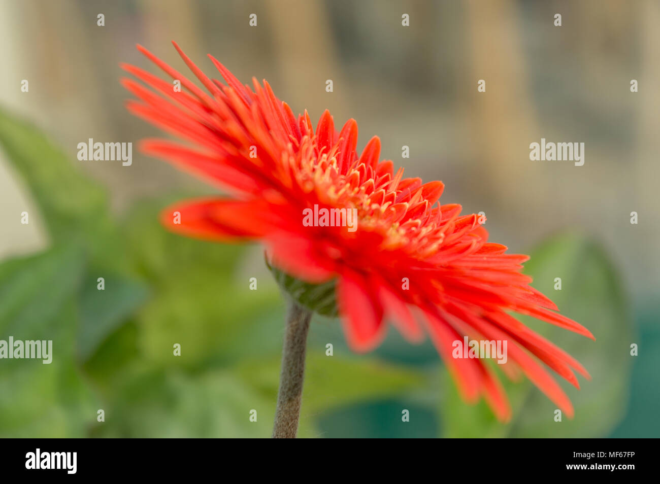 A beautiful orange isolated Gerbera flower. It is a genus of plants in the Asteraceae (daisy family) and named in honour of German botanist Traugott G - Stock Image