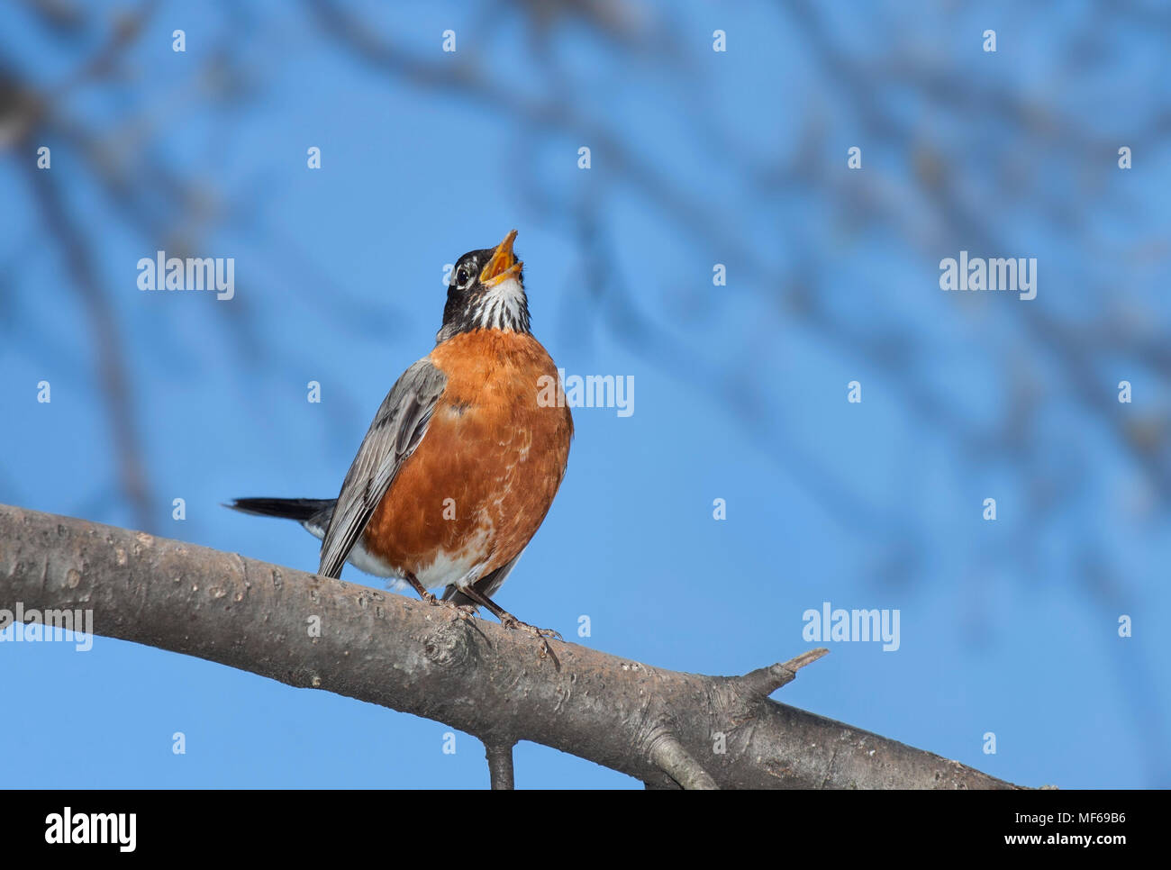 With its bright orange plumage in full display, tail up and beak wide open, a robin sings it cheerful song.  A bright blue sky and out of focus trees  - Stock Image