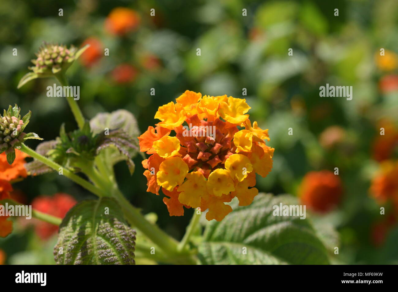 Fiori Gialli Arancio.Fiore Giallo Arancio Stock Photo 181462845 Alamy