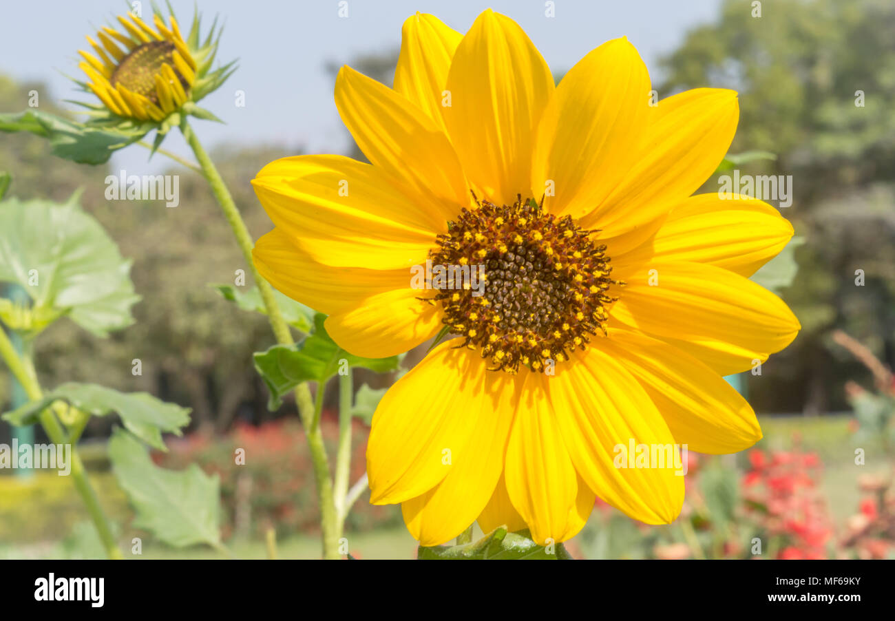Sunflowers garden. Sunflowers have abundant health benefits. Sunflower oil improves skin health and promote cell regeneration. - Stock Image
