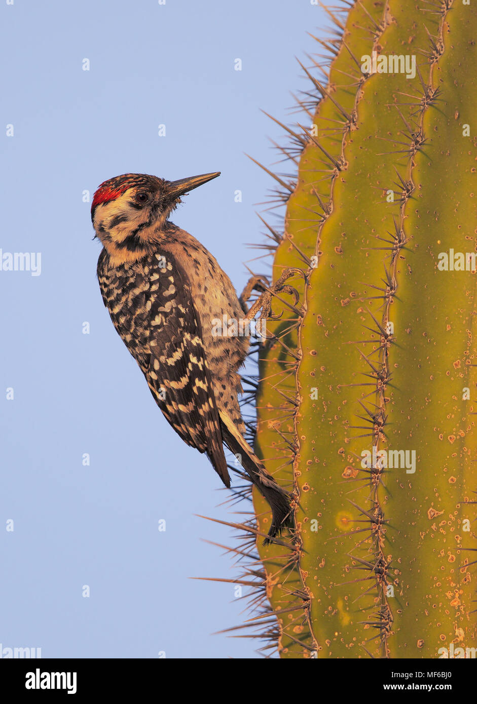 Ladder.backed Woodpecker - Stock Image