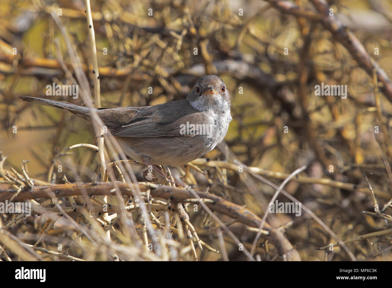 Cyprus warbler - Stock Image