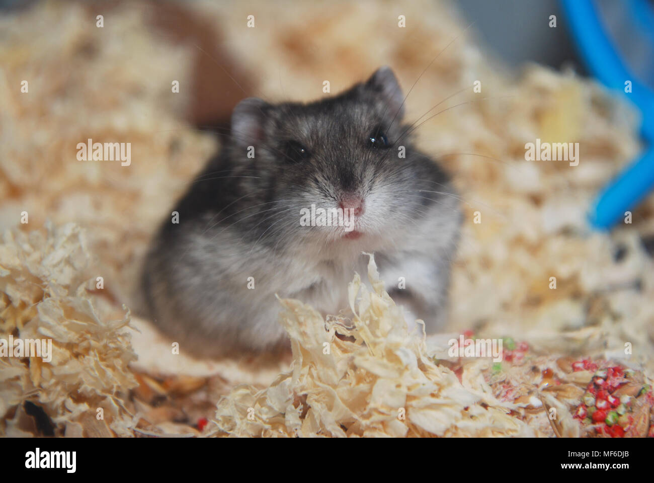Onwijs Gray Pet Hamster in Glass Aquarium close up Stock Photo: 181465939 VS-78