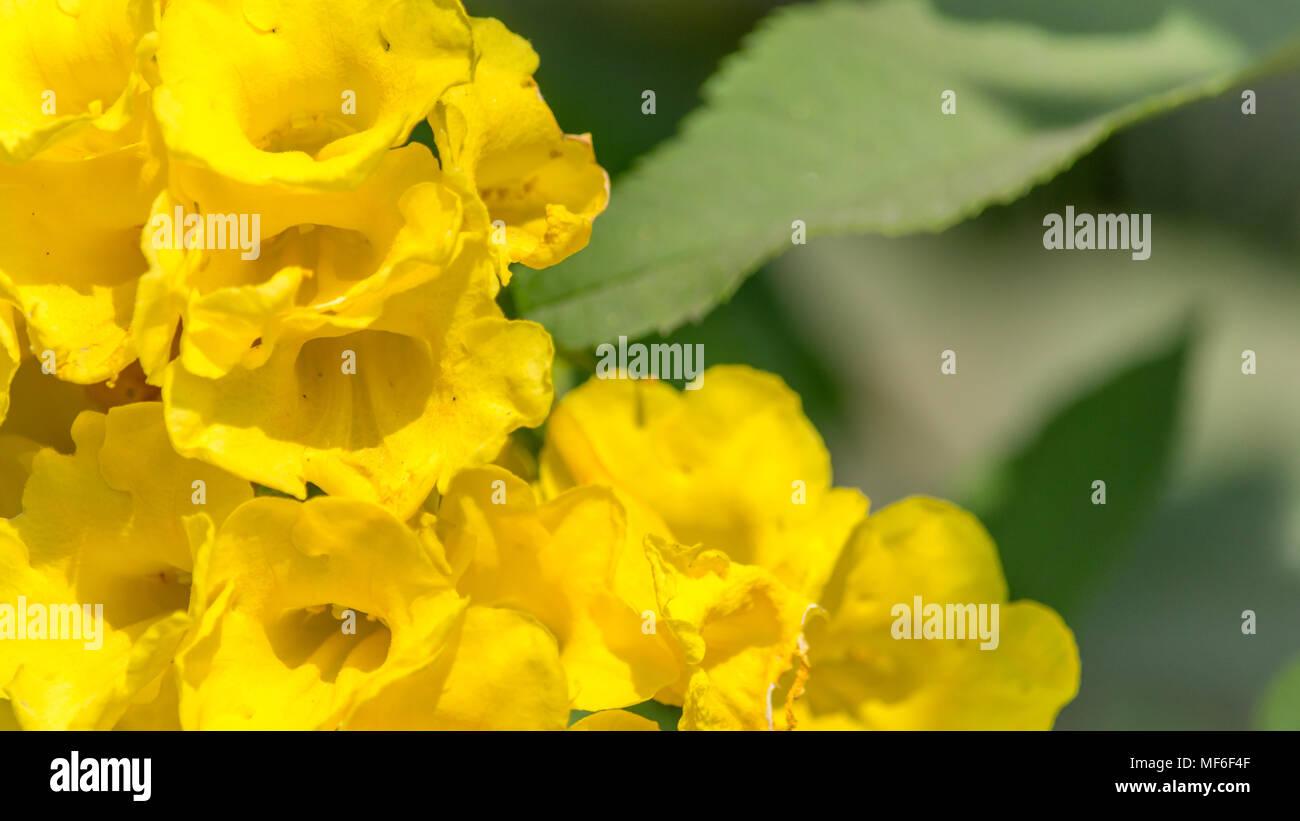 A Beautiful yellow flowers for background, tecoma castanifolia - Stock Image