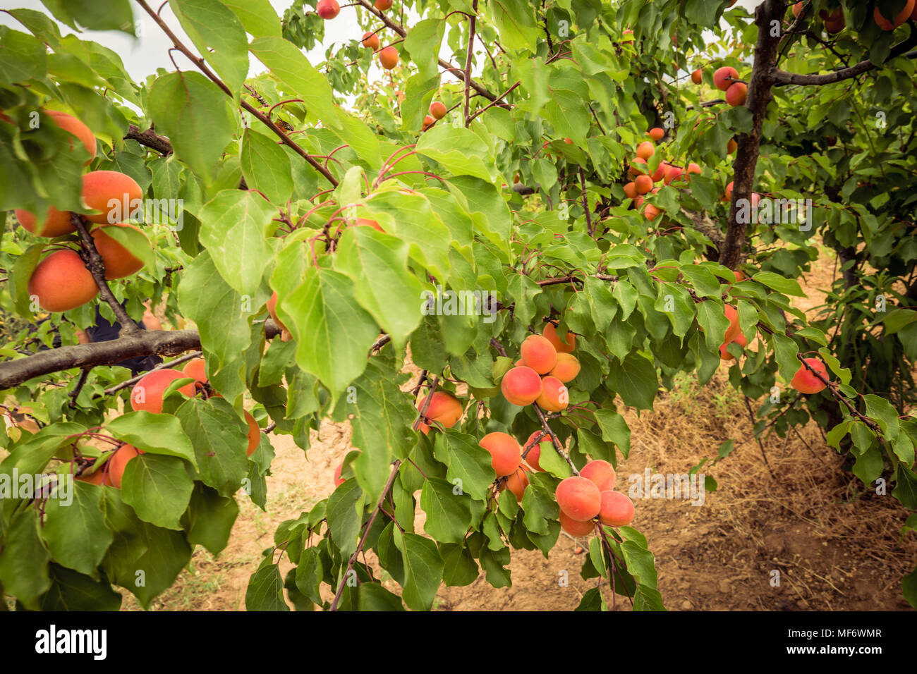 Apricot tree. Branches with apricots and green leaves - Stock Image