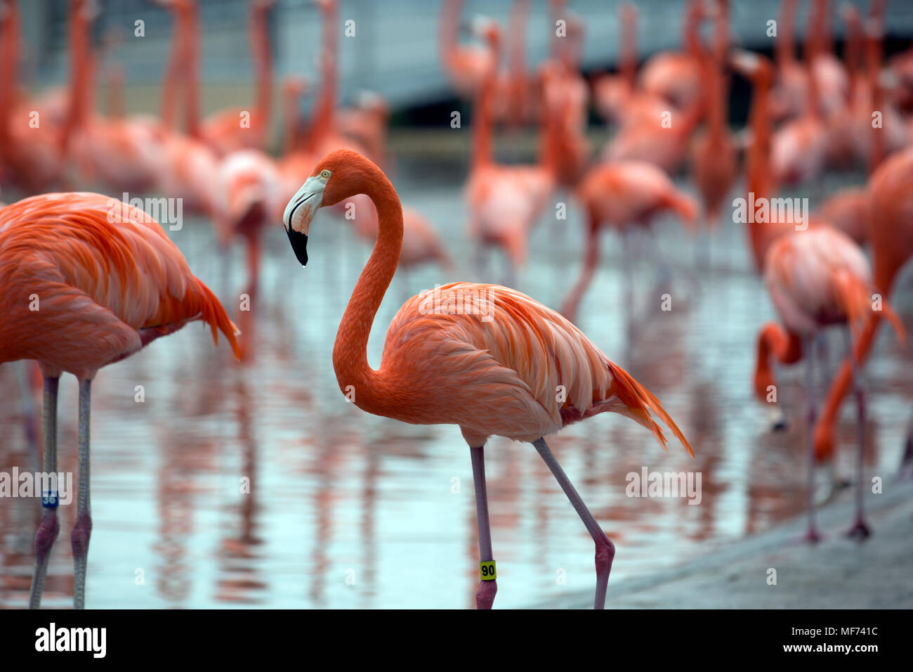 Pink flamingo in the water - Stock Image
