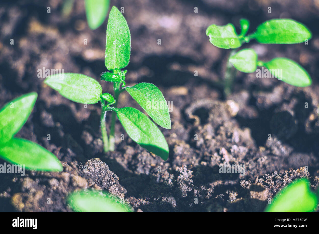 Young green shoots of the seedling - Stock Image