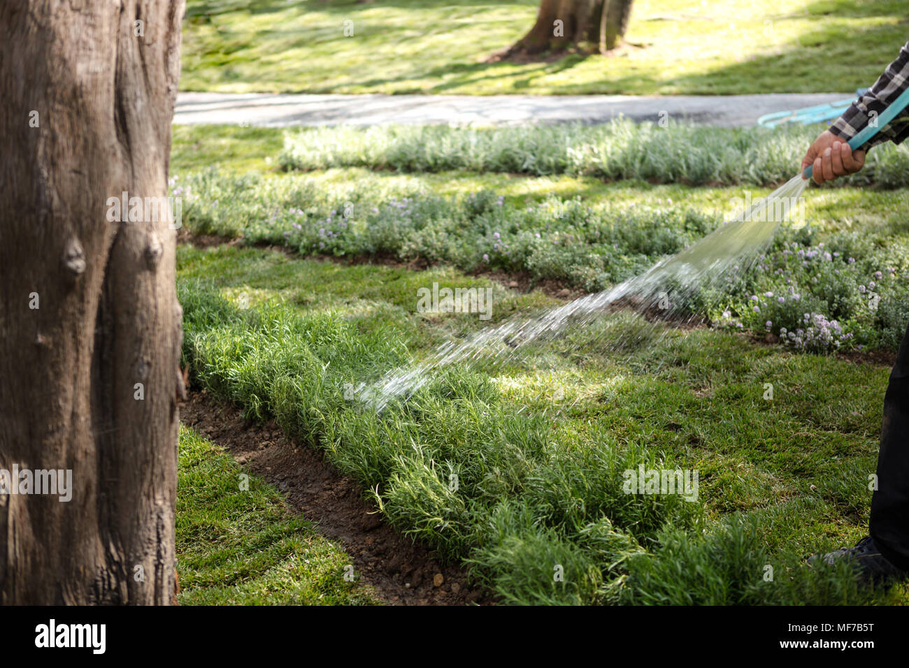 Professional gardener hand watering the plants with a garden hose in spring day - Stock Image