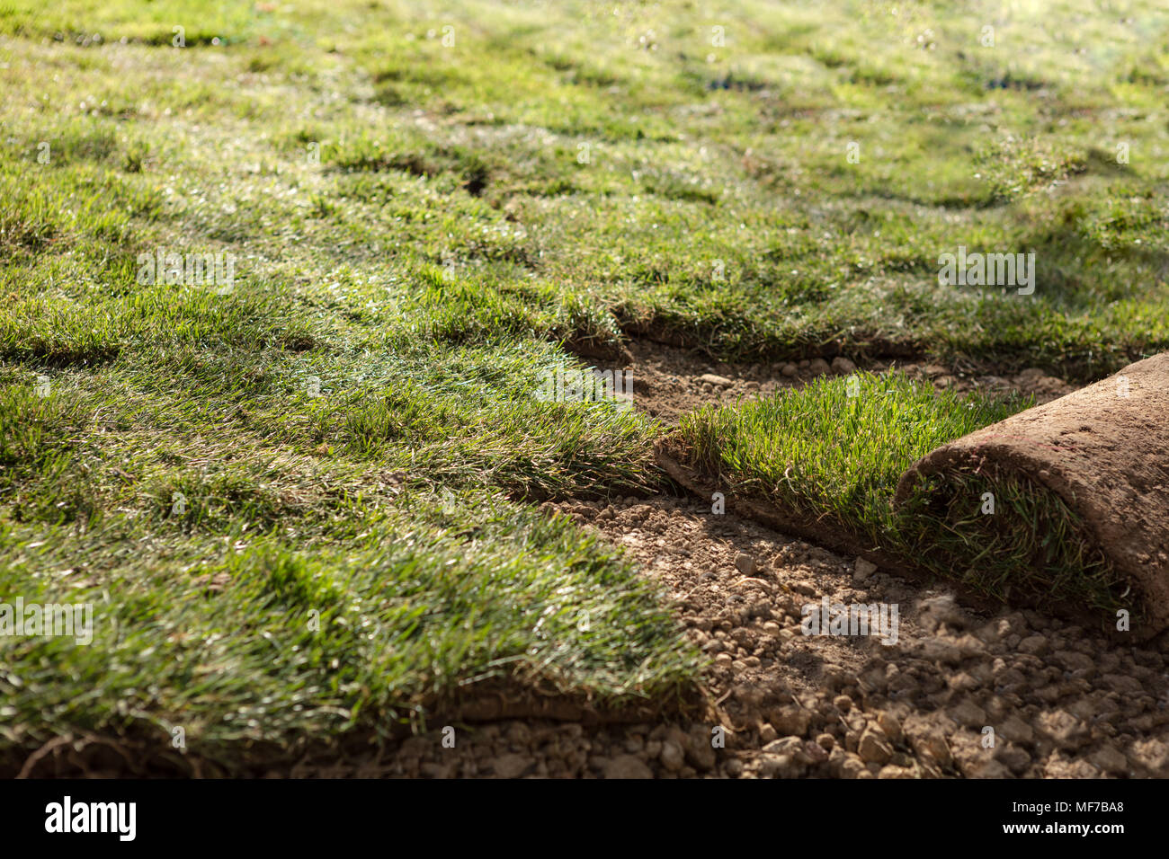 Natural Grass Turf Professional Installer. Gardener Installing Natural Grass Turfs Creating Beautiful Lawn Field. - Stock Image