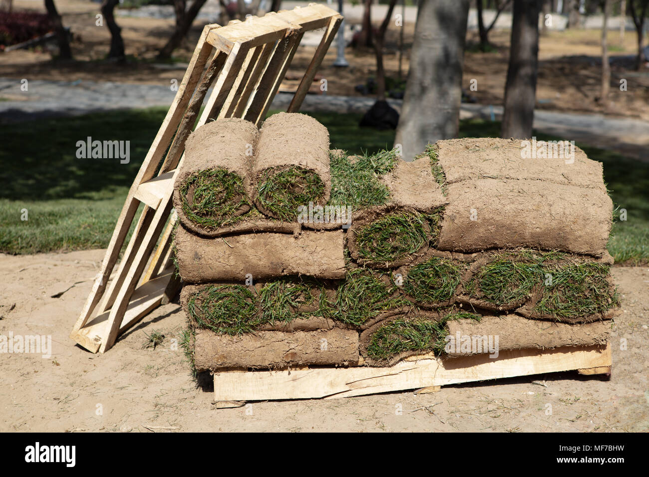 Grass Turfs Rolls On The wooden Pallet Preparing To New Grass Installation - Stock Image