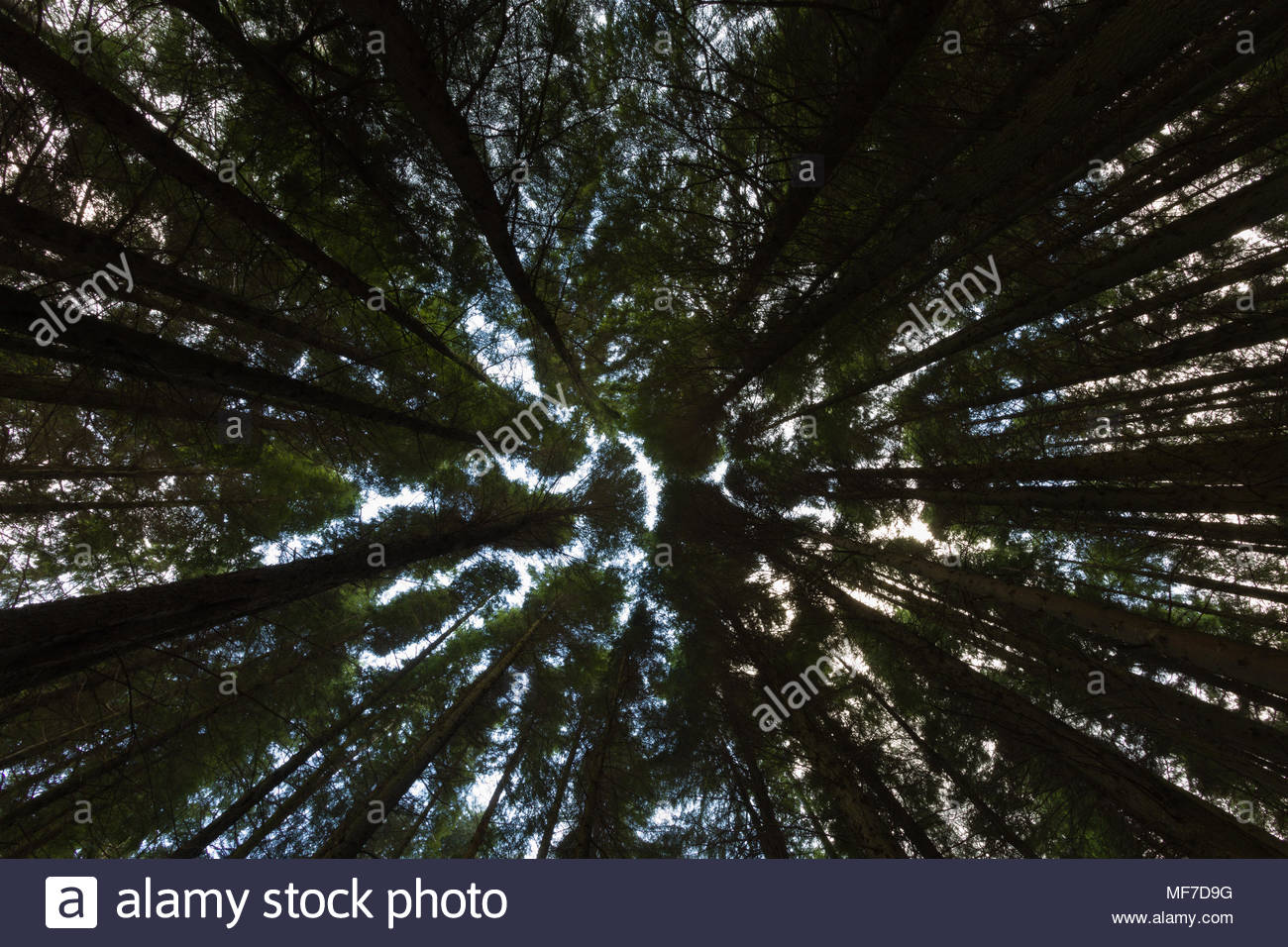 Tall pine trees fill the gaps searching for light - Stock Image