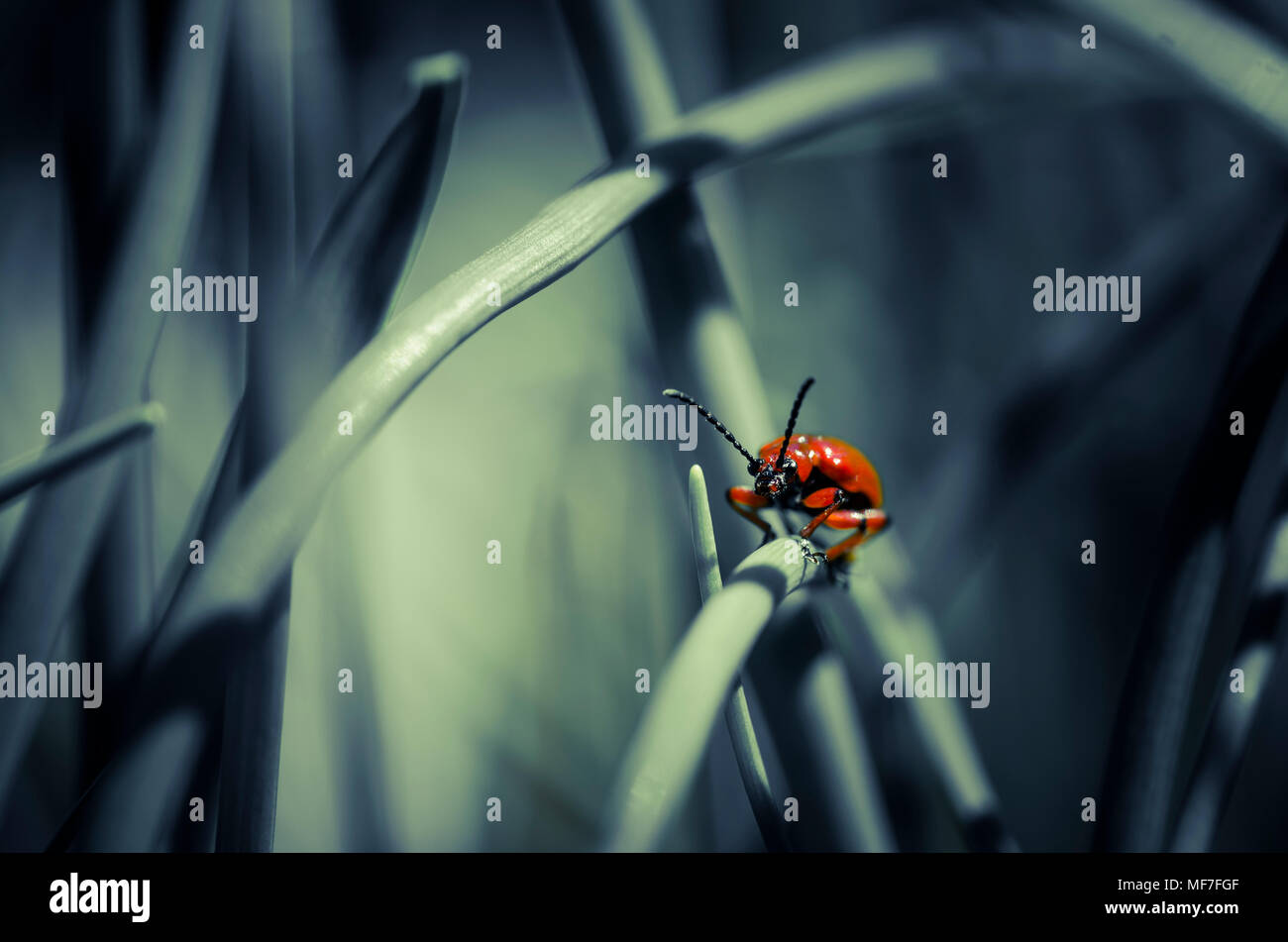 Lily leaf beetle on blade of grass - Stock Image