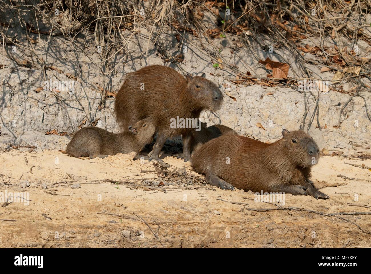 Capybara family in the Pantanal in southern Brazil; young capybara nursing - Stock Image
