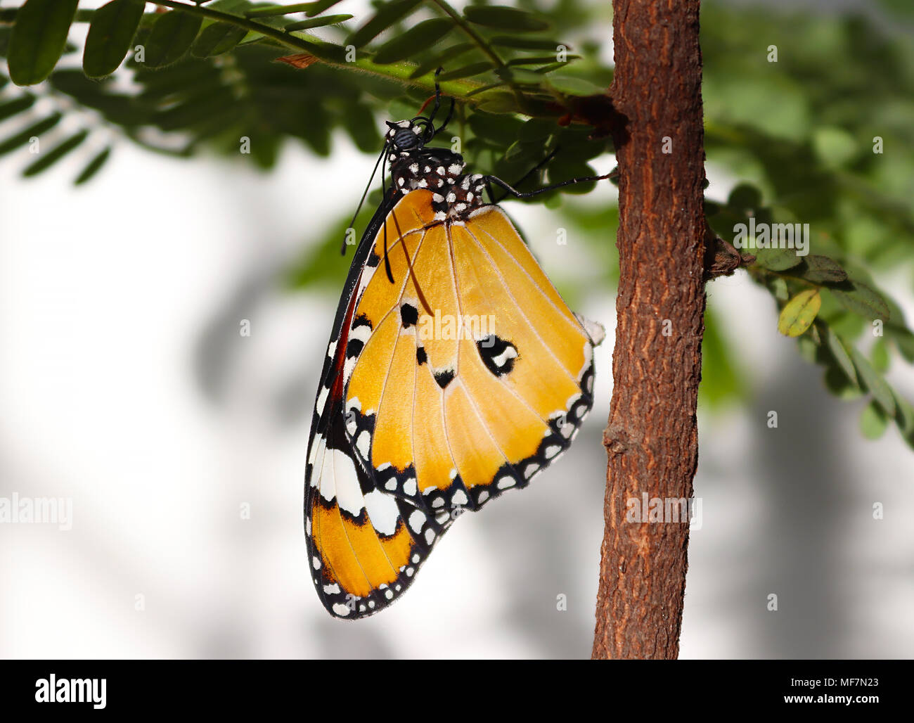 Plain tiger butterfly freshly emerged out of its pupa and ready to fly - Stock Image