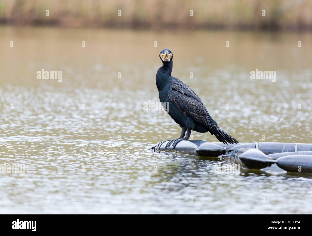Common Shag perched on a pontoon in a Cornish Lake - Stock Image