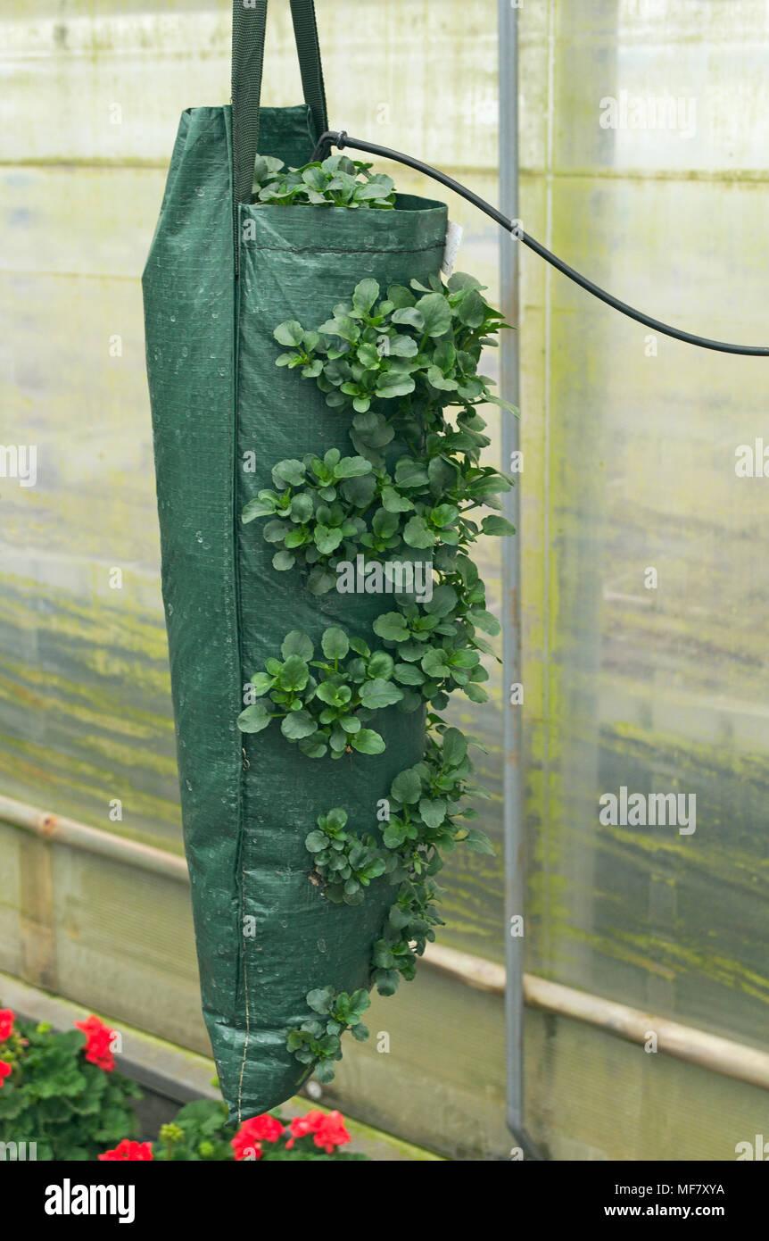 petunia flowers growing in a grow bag Stock Photo