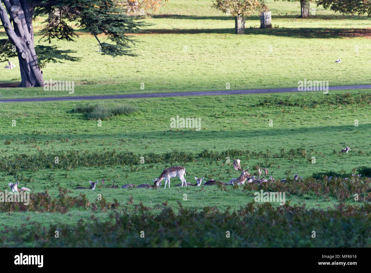 Fallow deer in Powderham Castle deer park on the shores of the Exe Estuary in Devon England. The castle is home to the Earl and Countess of Devon - Stock Image