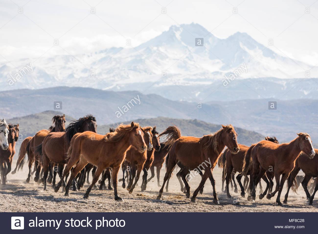 Wild Yılkı Horses In Nature - Stock Image
