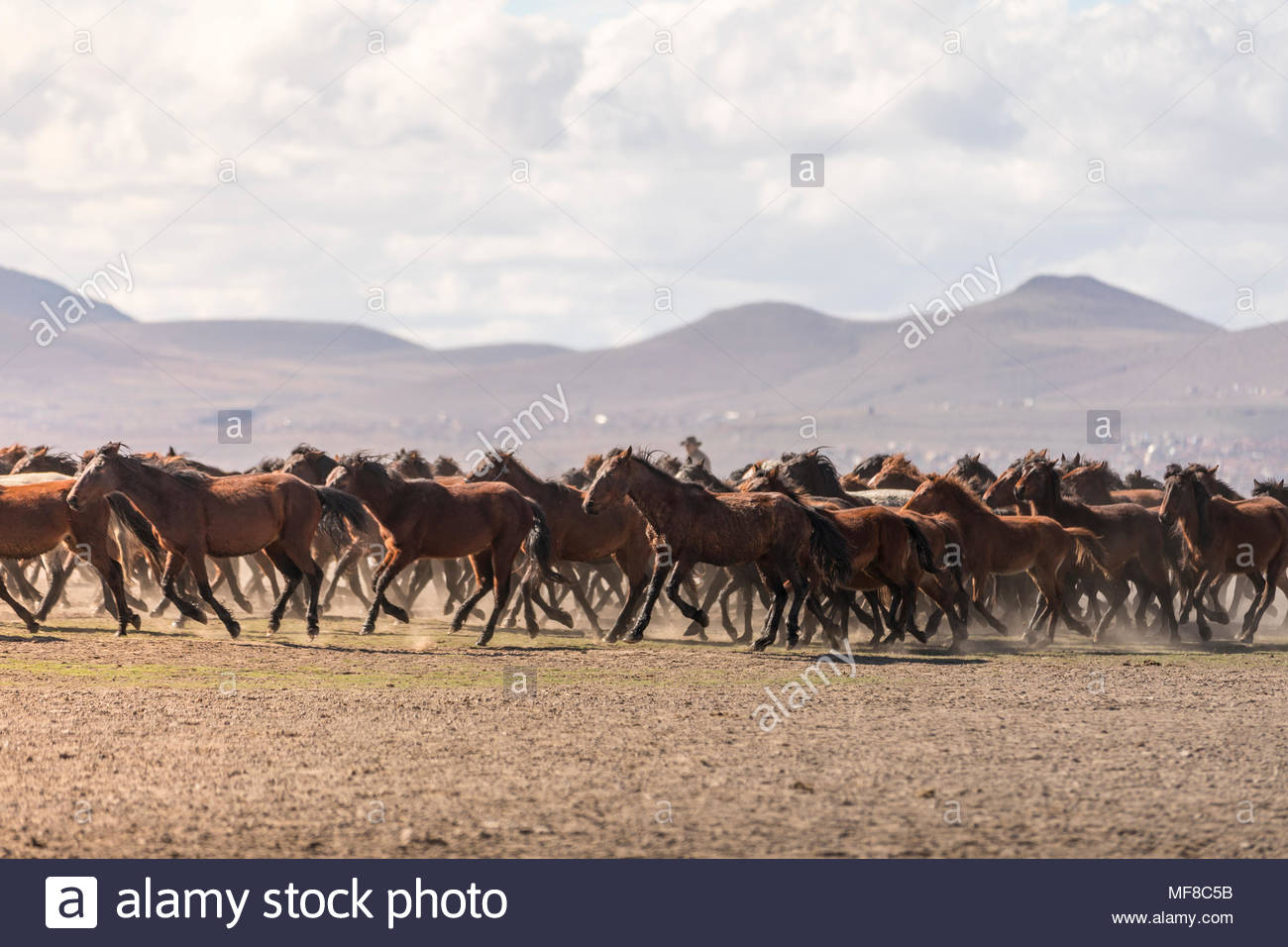 Wild Yılkı Horses In Nature Stock Photo