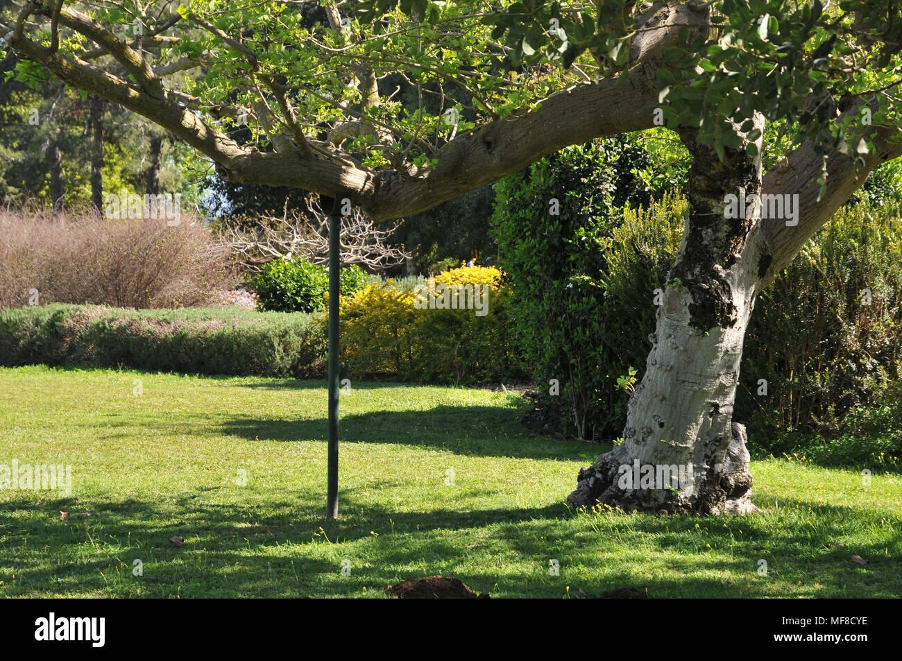 Tree supported by a pole. Photographed at Ramat Hanadiv gardens near Zichron Ya'acov, Mount Carmel, Israel - Stock Image