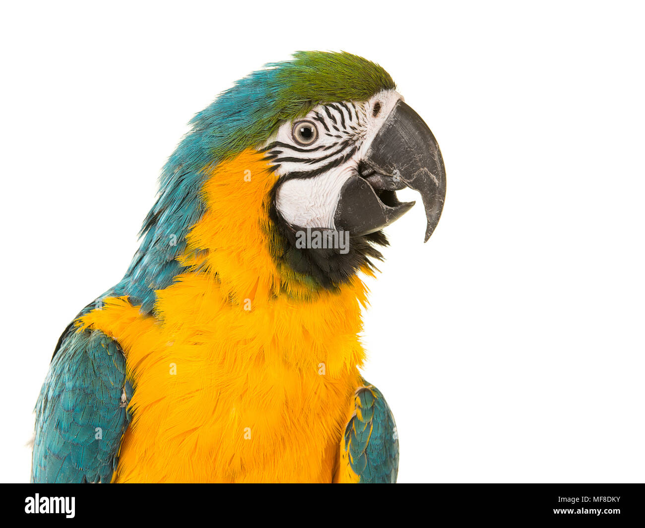 Blue and yellow macaw portrait looking to the right with its beek open on a white background - Stock Image