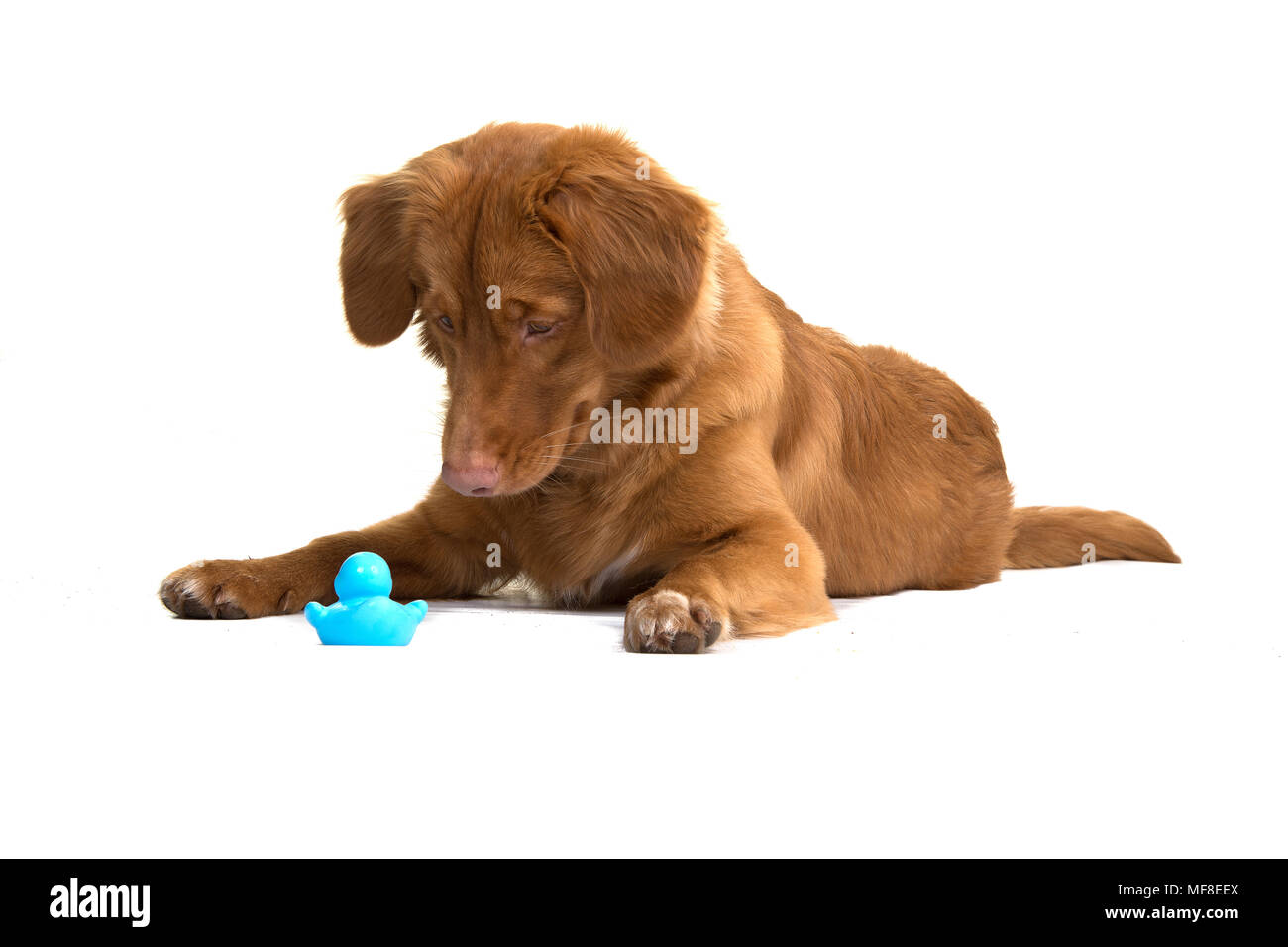 Duck Standing By Rubber Duck Stock Photos & Duck Standing By Rubber ...