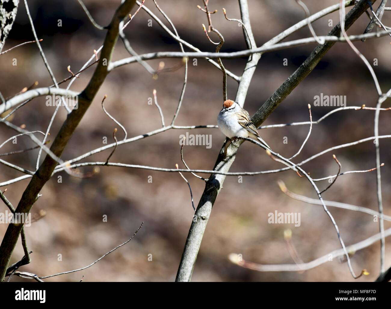 Chipping sparrow (Spizella passerina) perched in a tree - Stock Image