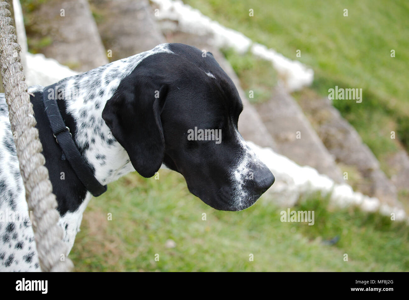 A portrait of a pointer dog looking at something in the distance. - Stock Image