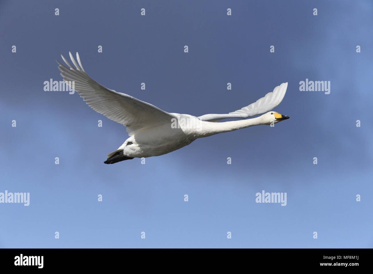Whooper Swan - Cygnus cygnus - Stock Image
