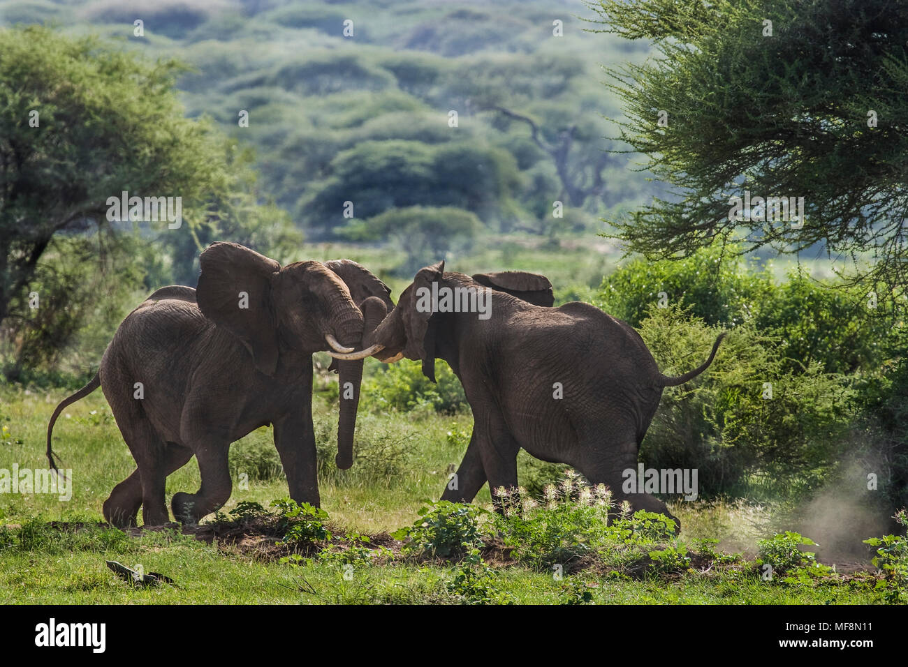 Two bull elephants sparring for dominance, Lake Manyara National Park, Tanzania. - Stock Image