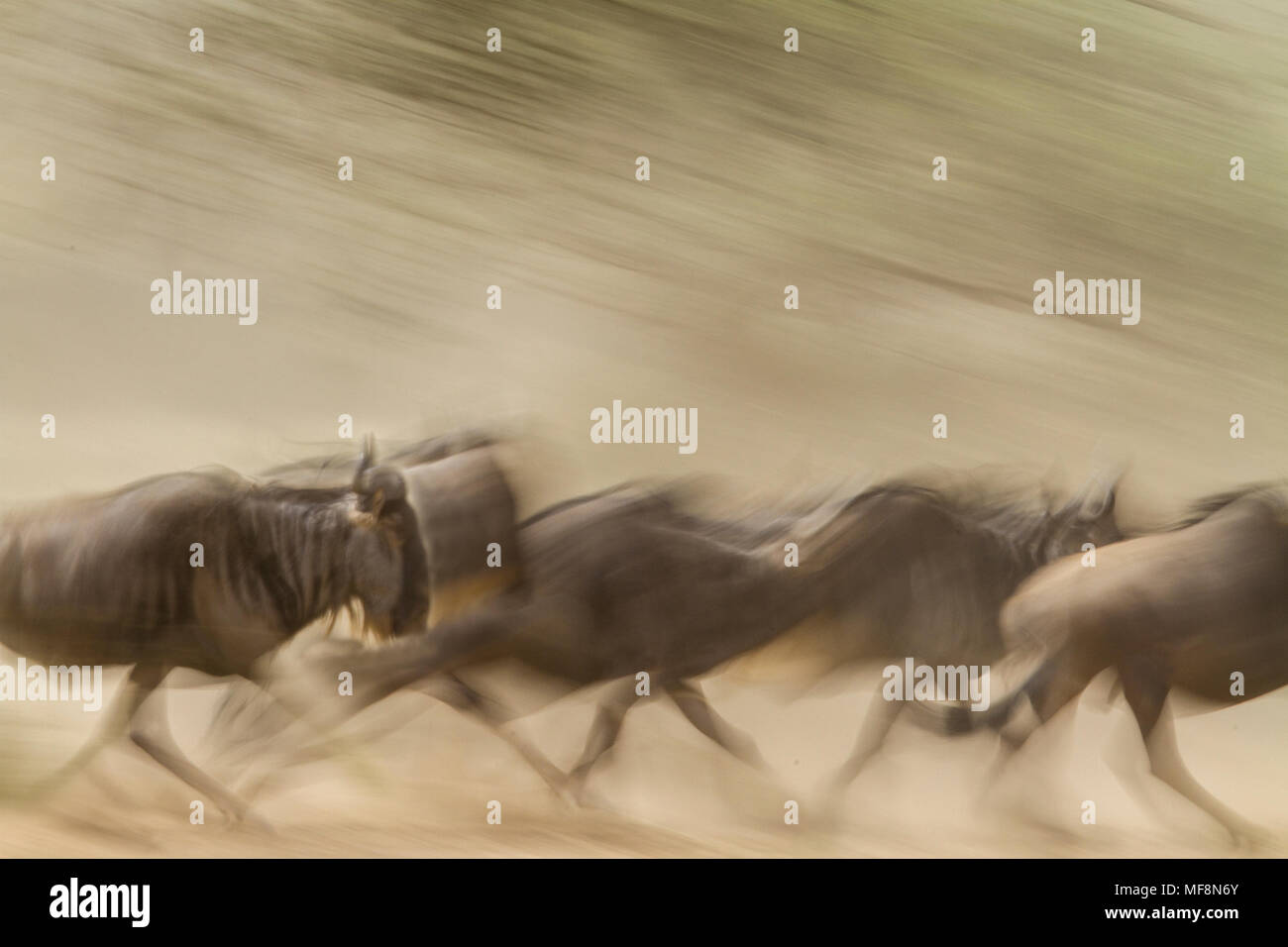 Wildebeest on the run during migration, Serengeti National Park, Tanzania; population of 1.5 million may be decimated by proposed highway and railroad - Stock Image